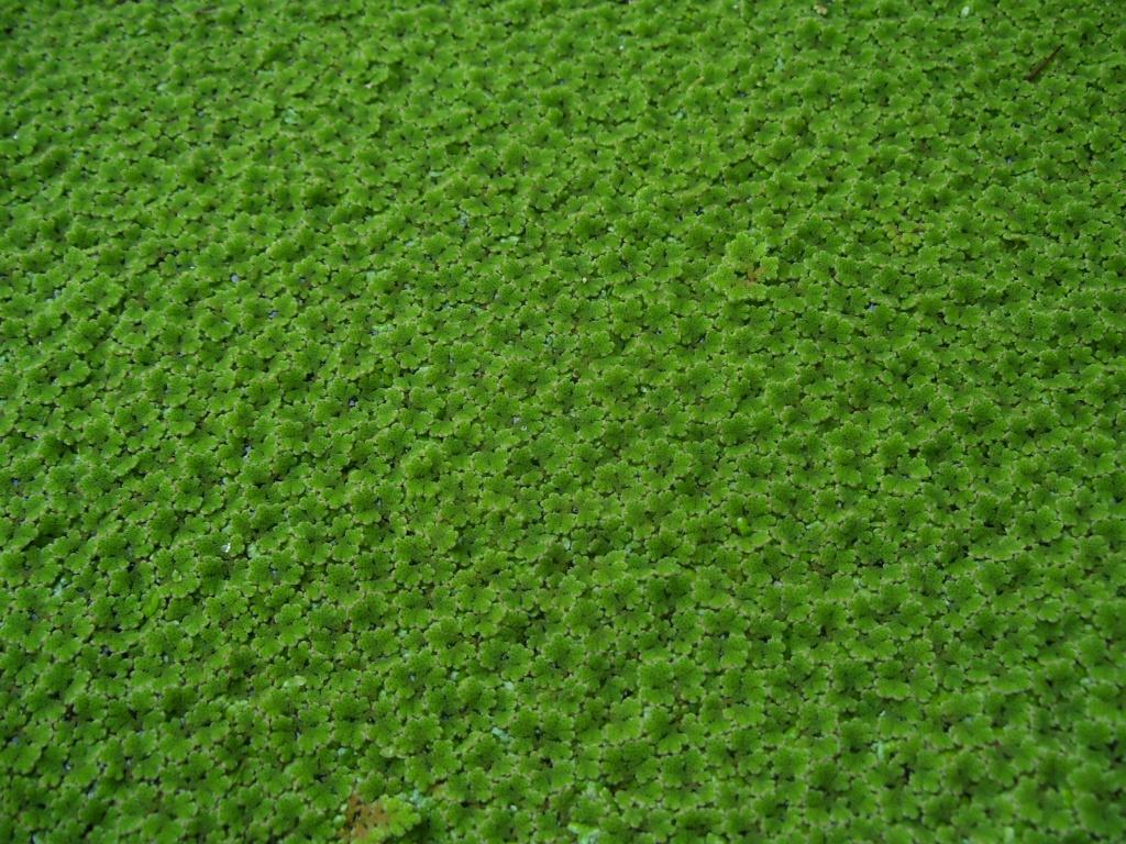 Tieranzeigen schwimmpflanzen kleinanzeigen for Tiere gegen algen im teich