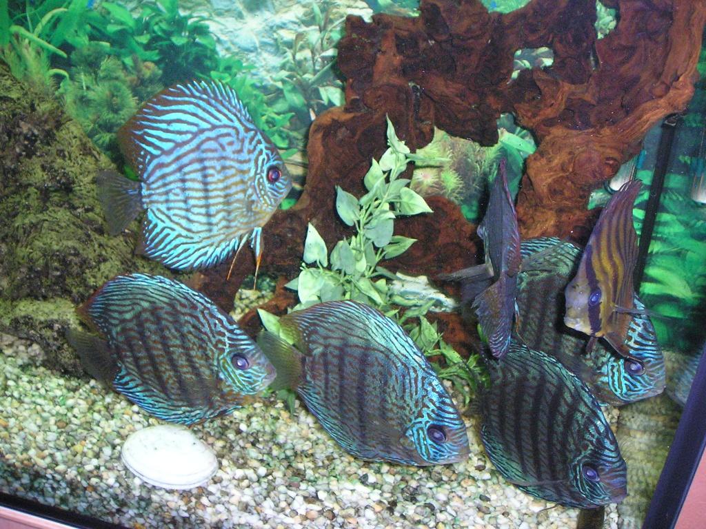 Fische diskus tieranzeigen seite 8 for Diskus aquarium