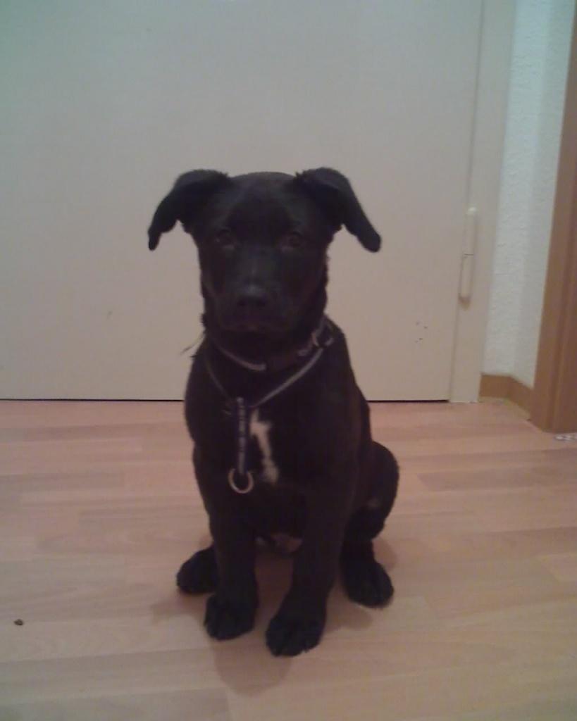 husky labrador welpe zu verkaufen pit bull. Black Bedroom Furniture Sets. Home Design Ideas